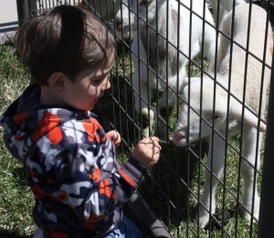 a little boy petting a lamb