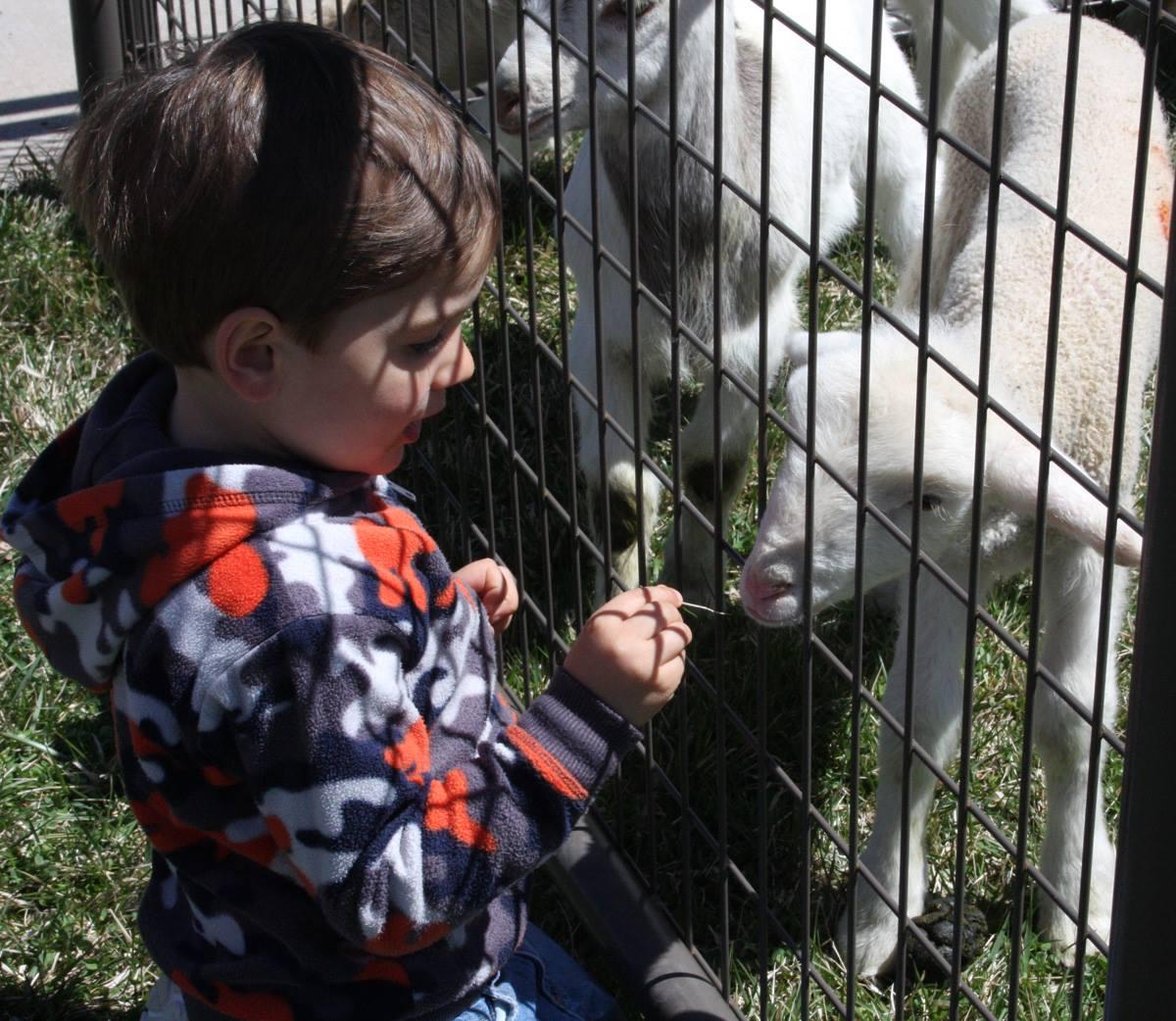 a little boy petting a lamb
