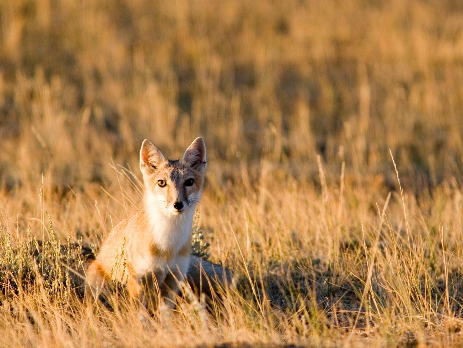 small fox sitting in prairie grass